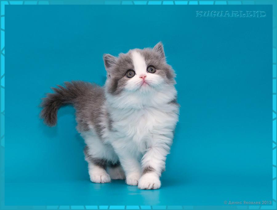 питомник шотландских и британских кошек decent pelace