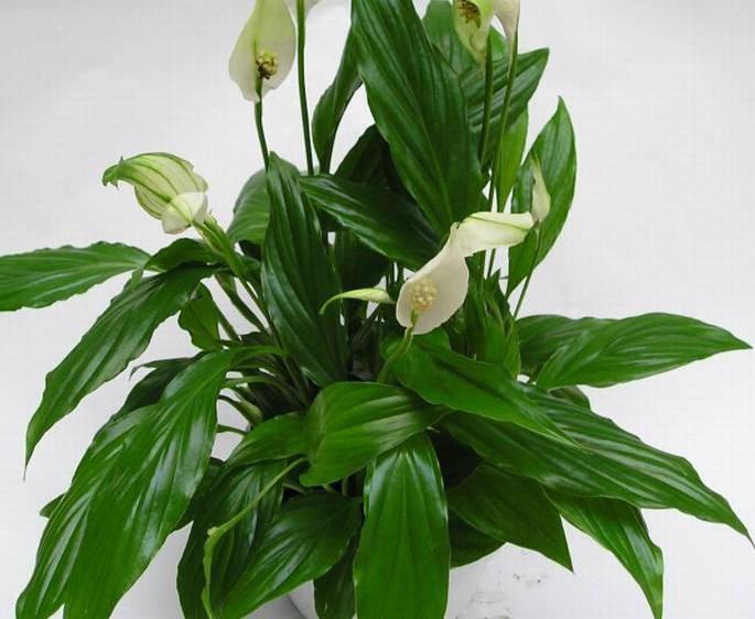 комнатные растения ядовитые фото и названия